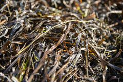 Zostera marina is seaweed, rich in iodine and other beneficial minerals, therapeutic effect. Other names are common eelgrass, seaw. Rack Stock Photo