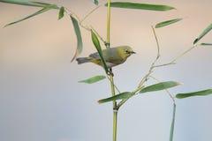 在竹子的鸟 库存图片
