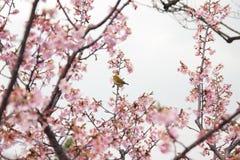 Zosterops en el flor de cereza Fotos de archivo libres de regalías