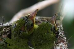 Zosterops japonicas小鸡 免版税库存照片