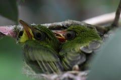Zosterops japonicas小鸡 免版税库存图片