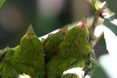 Zosterops japonicas pisklęcy Fotografia Stock