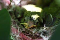 Zosterops japonicasfågelunge Arkivbild
