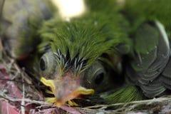 Zosterops japonicasfågelunge Arkivfoto