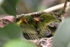 Zosterops japonicasfågelunge Royaltyfri Bild