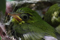 Zosterops japonicasfågelunge Royaltyfri Foto