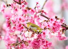 Zosterops japonicus and cherry blossoms in spring stock photography