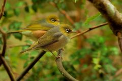 Zosterops lateralis - Silvereye - tauhou in the primeval forest Royalty Free Stock Images