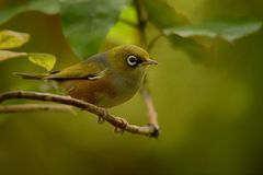Zosterops lateralis - Silvereye - tauhou in the primeval forest Stock Photography