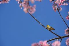 Zosterops palpebrosus在通配喜马拉雅樱桃tre的鸟吊 免版税库存照片