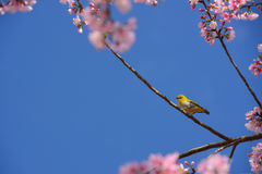 Zosterops palpebrosus bird hang on the Wild Himalayan Cherry tre Royalty Free Stock Photo