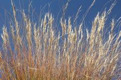 Złota trawa W niebieskim niebie Zdjęcie Royalty Free