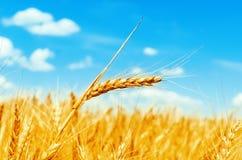 Złotego koloru pszeniczny ucho na polu Obraz Royalty Free