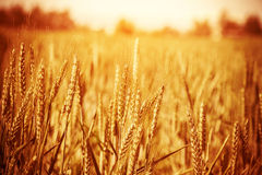 Złoty pszeniczny pole Obrazy Royalty Free