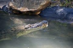 Zout waterKrokodil Stock Foto