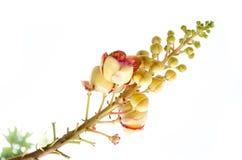 Zoutboom Stock Afbeeldingen