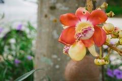 Zoutboom, Couroupita-guianensis, Kanonskogelboom Stock Afbeeldingen