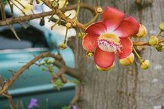Zoutboom, Couroupita-guianensis, Kanonskogelboom Royalty-vrije Stock Afbeeldingen