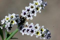 Zoute heliotroop, Kustheliotroop, Heliotropium-curassavicum Royalty-vrije Stock Afbeelding