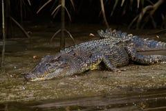 Zoutwaterkrokodil (Crocodylus-porosus) Stock Foto