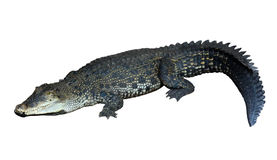 Zoutwaterkrokodil (Crocodylus-porosus) stock fotografie