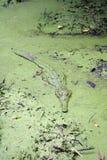 Zoutwaterkrokodil in een algen behandelde vijver Royalty-vrije Stock Fotografie
