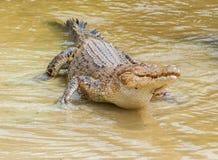 Zoutwaterkrokodil in gevangenschap Royalty-vrije Stock Foto's