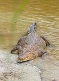 Zoutwaterkrokodil in gevangenschap royalty-vrije stock foto