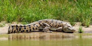 Zoutwaterkrokodil, Saltwater Crocodile, Crocodylus porosus. Zoutwaterkrokodil liggend aan oever; Saltwater Crocodile lying on bank royalty free stock images