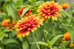 ` Zowie ! Fleurs jaunes de Zinnia de ` de flamme Photographie stock libre de droits