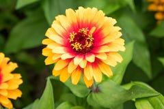 ` Zowie! Flor amarela do Zinnia do ` da chama Foto de Stock Royalty Free