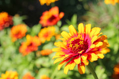 Zowie-Gelb-Flamme Zinnia-Blume Stockfotografie