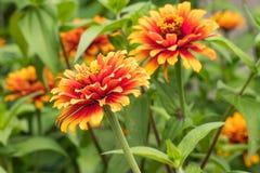 ` Zowie! Gelbe Flamme ` Zinnia-Blüte Lizenzfreie Stockfotografie