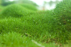 Zoysia grass Royalty Free Stock Photography