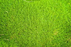 Background, zoysia grass Royalty Free Stock Photography