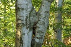 Zrastający się bukowi drzewa Fotografia Stock