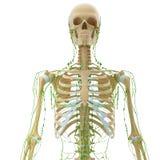 Zredukowany limfatyczny system frontowy widok Fotografia Stock