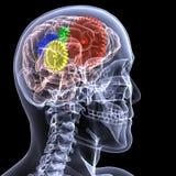 Zredukowany promieniowanie rentgenowskie - Przekładni Głowa Zdjęcia Stock