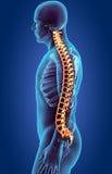 Zredukowany system - Radiologiczny ludzki kręgosłup royalty ilustracja