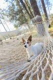 Zrelaksowana dźwigarka Russell Terrier Relaksuje w hamaku zdjęcia stock