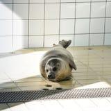 Zrelaksowana foka w swimmingpool Obraz Royalty Free