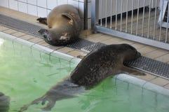 Zrelaksowana foka w swimmingpool Zdjęcie Royalty Free