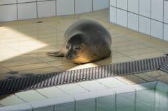 Zrelaksowana foka w swimmingpool Obraz Stock