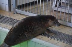 Zrelaksowana foka w swimmingpool Obrazy Stock