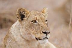 Zrelaksowana lwica, Południowa Afryka Obrazy Royalty Free