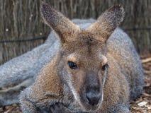 Zrelaksowany łatwy bagna Wallaby w pozującym Leisurely obrazy royalty free