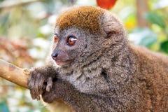 Zrelaksowany bambusowy lemur Zdjęcie Stock