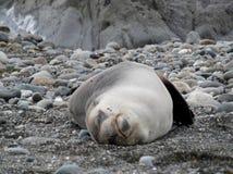 Zrelaksowany foki dosypianie na jego z powrotem zdjęcia royalty free