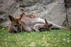 Zrelaksowany macierzysty wallaby z joey zdjęcia royalty free