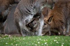 Zrelaksowany macierzysty wallaby z joey obraz stock